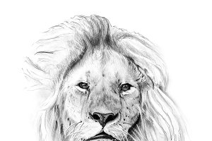 Portrait of lion drawn by hand