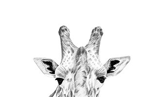 Portrait of giraffe drawn by hand