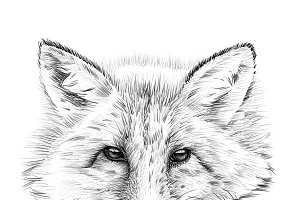 Portrait of fox drawn by hand