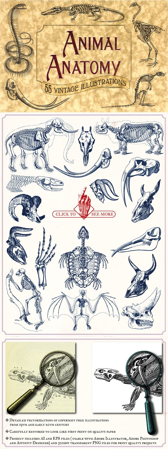 Vintage Animal Anatomy Vectors ~ Illustrations ~ Creative Market