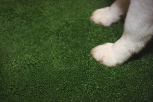 Paw of siberian husky on green mat