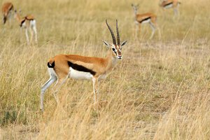 Thompson's gazelle