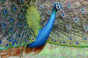 Portrait of beautiful peacock