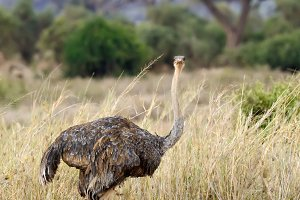 Female of African ostrich