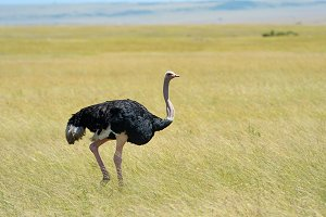 Male of African ostrich