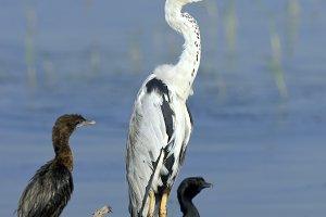 Sri lankan gray heron