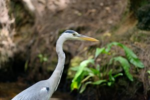 Close-up gray heron