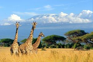 Giraffe and Kilimanjaro mount