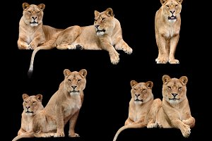 Collage with lions