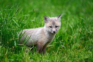 Silver fox baby