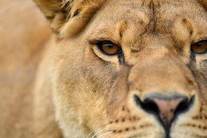 Closeup portrait of a african Lion