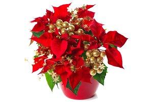 Poinsettia. Red Christmas Flower