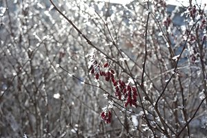 Winter barberry