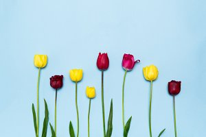 Colourful tulips on blue background