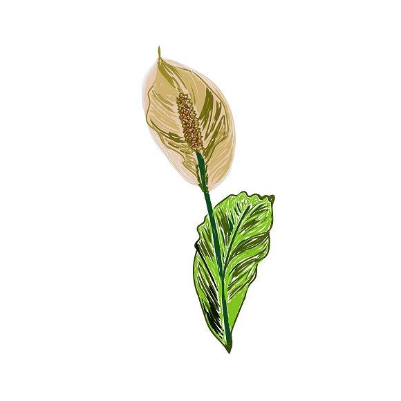 Lily Calla In Sketch Style Vector