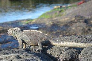 Reflective - Galapagos Iguana