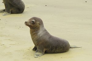 Baby Sea Lion waking up