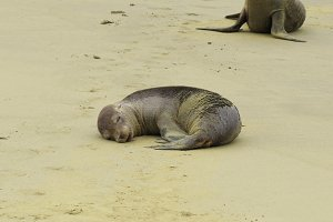 Baby Sea Lion sleeping