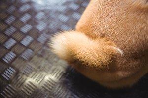 Tail of shiba inu puppy
