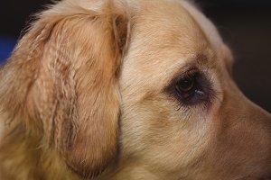 Golden retriever at dog care center