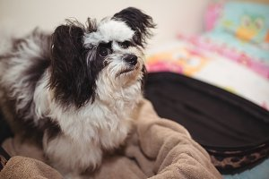 Papillon dog in suitcase at dog care centre