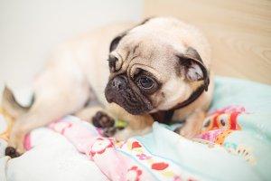 Pug dog resting on dog bed