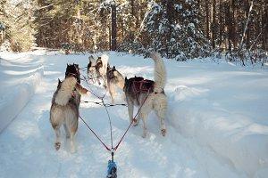 Siberian dog pulling sleigh