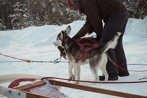 Man preparing Siberian husky dogs for a ride