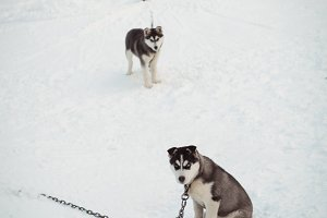Siberian dogs awaiting on snow