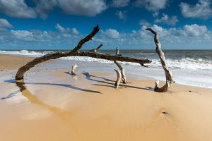 Tree in Sand, Southwold