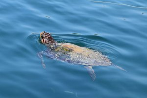 Caretta Loggerhead Turtle