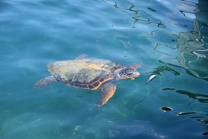 Caretta Sea Turtle