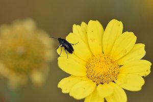 Black Beetle Spring