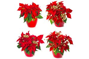 Poinsettia. Red Christmas Flower