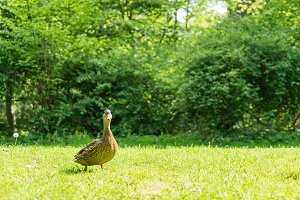 Duck on the grass in the park