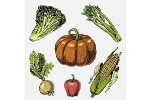 set of hand drawn, engraved vegetables, vegetarian food, plants, vintage looking pumpkin, lettuce and celery, corn , sweet and chili peppers, turnip.