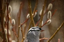 Vertical - Sparrow in the Willows