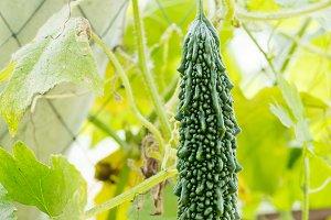 Bitter cucumber