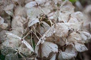 Dried Hortensia
