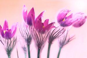 Pink flowers (Pulsatilla patens)