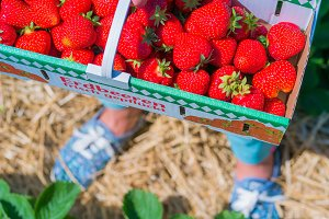 Woman holding carton box basket with delicious fresh picked strawberry. Top shot. Blue blurred sneakers in background