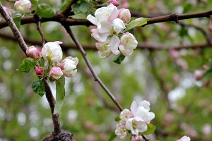 Branches of apple tree with flowers
