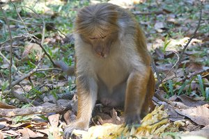 Monkey eating fresh fruit in the tropical park. Vertet in Sri Lanka. Close up