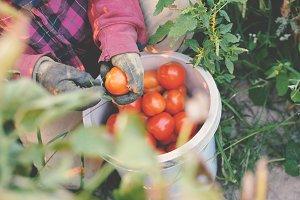 gardener keep tomatoes