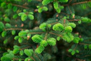 Spruce branches close up