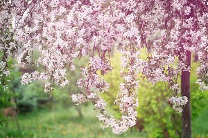 Springtime, young cherry blossoming