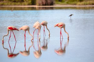 Group of flamingos eating