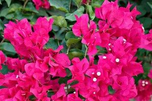 Bougainvillea pink flowers