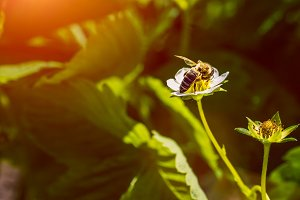 The bee pollinates the strawberry flower. Insect on a white flower