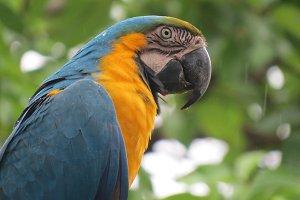 A real Macaw - Bolivia